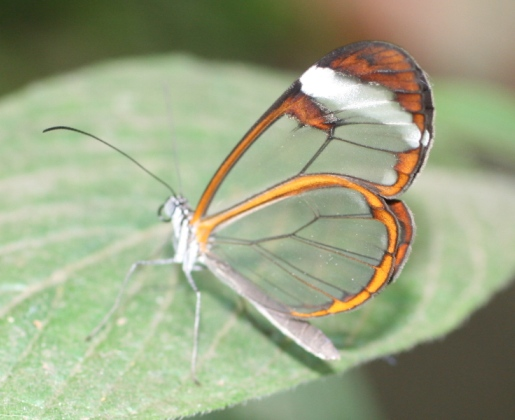 Glasswing Butterfly by Lyn Littlefield Hoopes